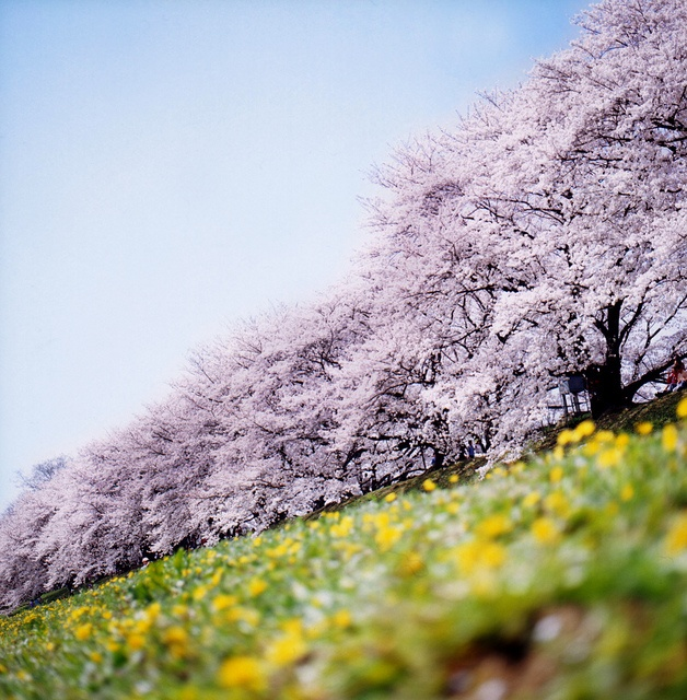 cherry-blossoms-japan-nature-pink-sakura-Favim.com-220009